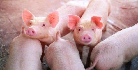 Ilmuwan China Temukan Virus Flu Tipe Baru Berasal dari Babi Berpotensi Jadi Pandemi